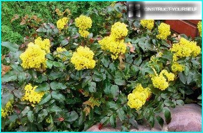 Buske af mahonia holly