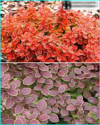 Varieties of barberry Thunberg