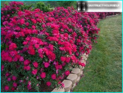 أزهار متطاولة من الورود