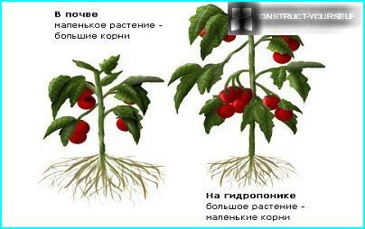 Comparison of tomatoes grown in soil and hydroponics