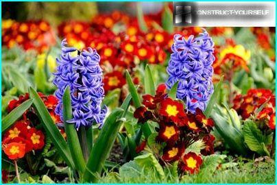 Primrose og hyacinter