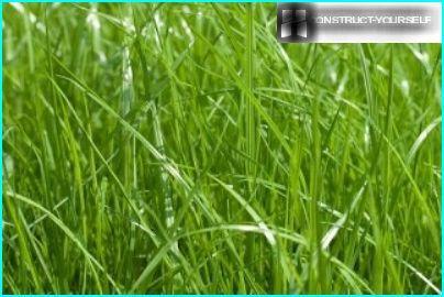Siniruoho niitty