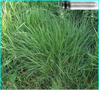 Bent grass fine