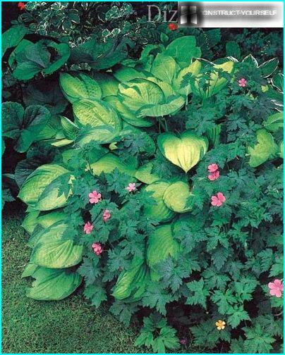 Hosta and geranium of Andrisa