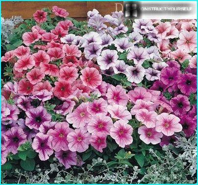 Petunie floribunda