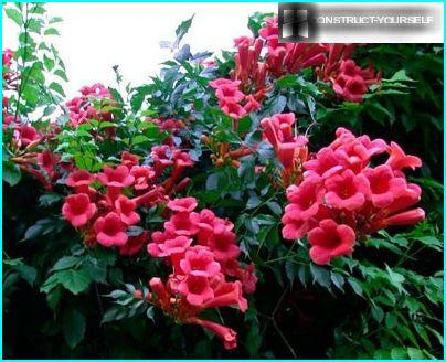 Campsis Blumen