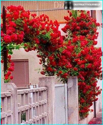 Ketju ruusut tarvitsevat tukea