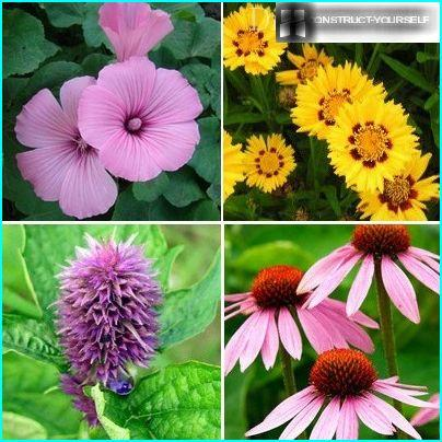 Handsome long blooming perennials