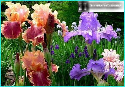 Beaux iris spectaculaires
