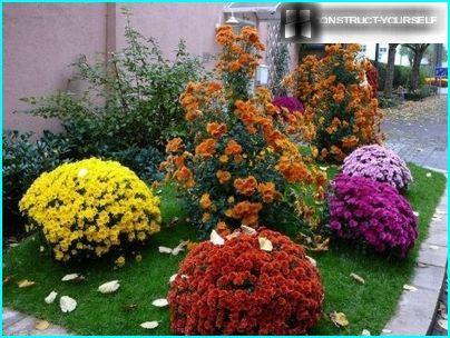 Parterre de fleurs d'automne avec des boules de chrysanthèmes chics