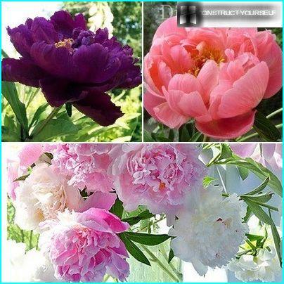 Sent blomstrende pionvarianter
