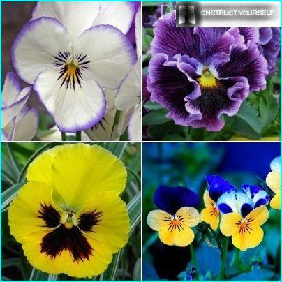 Variationer af nuancer af miniature viols