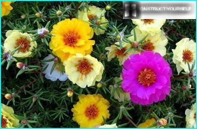 Unprätentiöser Portulak - eine helle Dekoration des Blumenbeets