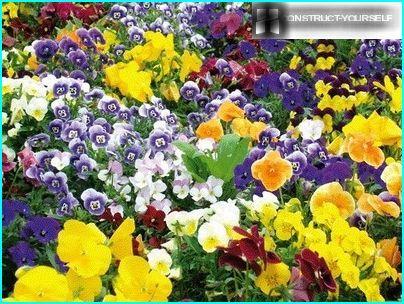 Bunter Teppich der Stiefmütterchenblumen