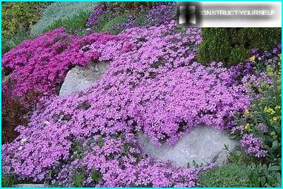 """Lilac """"blanket"""" from Phlox styloid"""