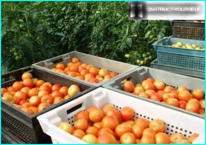 Boxes with tomatoes