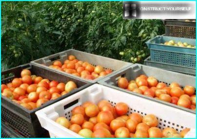 Kasser af tomater