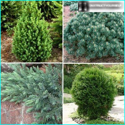 Dwarf forms of conifers
