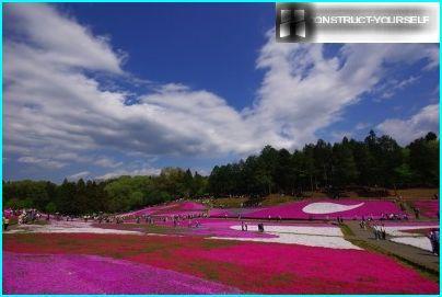 Subtelny floks w parku Hitsuzhiyama