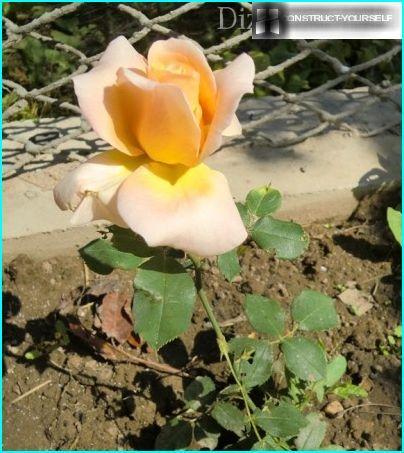 Hybrid te rose
