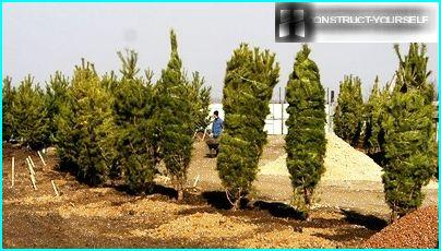 The planting area of evergreen coniferous trees