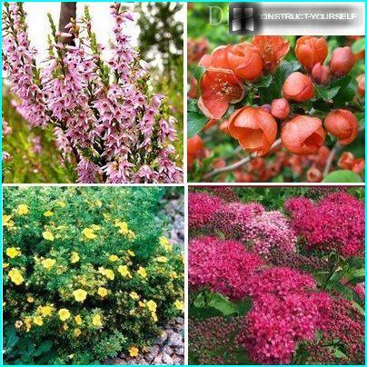 Биљке за слободно растуће ограде уживо