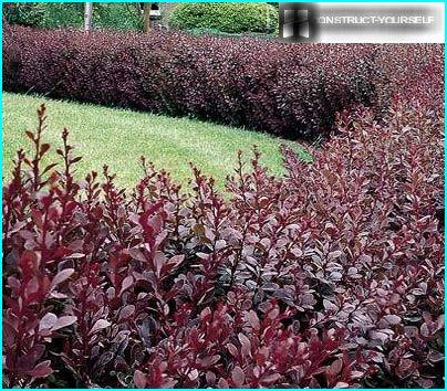 A hedge of flowering shrubs