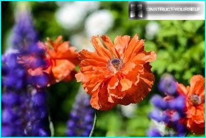 Turkish poppy