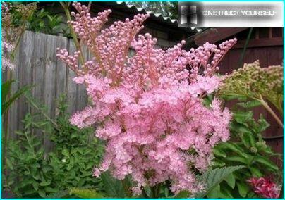 Nuvole rosa di fiori di prati