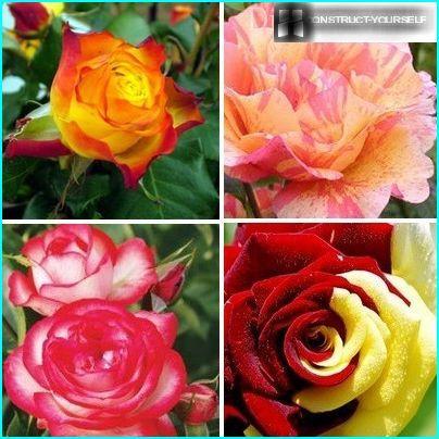 Roses bicolores