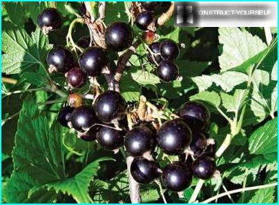 Currants on the plot