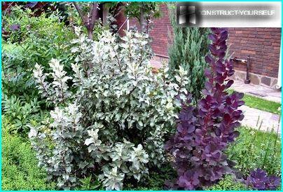 Droogtetolerante heester met zilverachtig blad