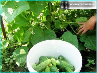 Harvest twine vines