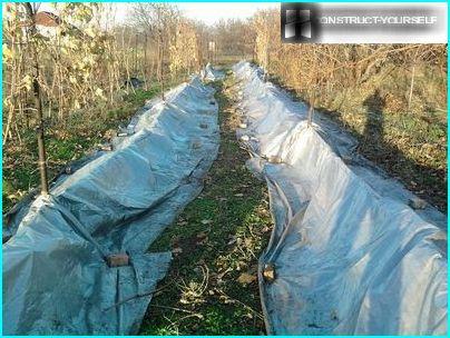 Viinirypäleiden valmistelu talveksi