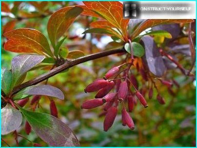 Berberis vulgaris Atropurpurea