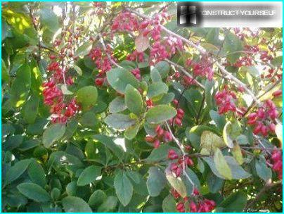 The color of the leaves of barberry