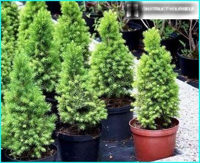 The seedlings glauci conic