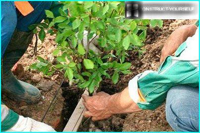 Planting of barberry