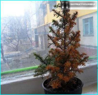 Yellowed needles Christmas tree of conic