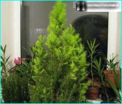 Strongly vegetative tree glauca