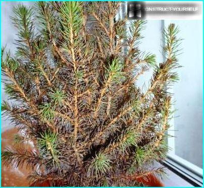 Dead spruce Konica