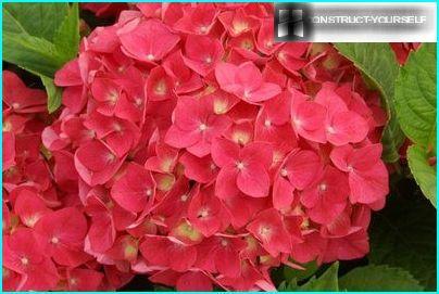 Stor hortensia