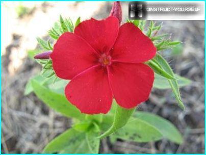 Phlox Drummond -kukka