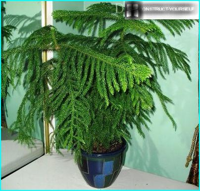 Araucaria - kodin havupuu