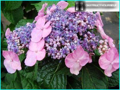 Verschiedene Blüten im Blütenstand