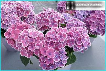 Storbladet hortensia