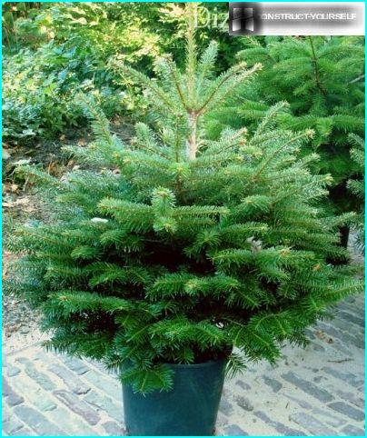 Spruce from the nursery