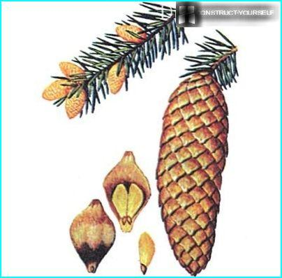 The seeds of spruce
