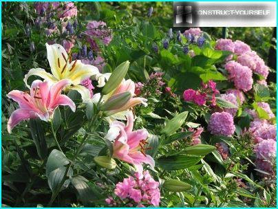 Liljat hydrangean ja floksin kanssa
