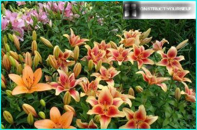Liljat ryhmässä istutusta